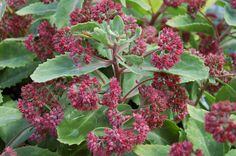 SEDUM TELEPHIUM VAR. BORDERI  from Secret Garden Growers