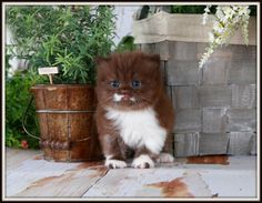 Chocolate and White Bi-Color Persian Kitten