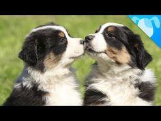 Amazing dog tricks | Cohen | Australian Shepherd - YouTube | Click or Touch Picture to Play Video | #ʀᴏᴄᴋɪɴɢᴠᴀᴜssɪᴇs