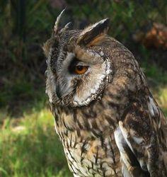 Sadness for a barn Owl