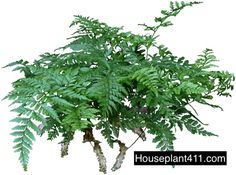 "A Rabbit's foot fern is a lovely compact fern that never makes a mess. Rabbit's Foot Ferns have thin lacy medium green fronds that have an almost bluish green tinge and hairy little ""feet."