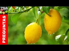 The Meyer Lemon Tree is a fun tree that always seems to be blooming or fruiting. Many Meyer Lemon Trees are blooming now, bringing beautiful flowers and a wonderfully fresh citrus scent to many homes. Citrus Trees, Fruit Trees, Meyer Lemon Tree, Water Retention Remedies, Potager Bio, Fast Growing Trees, Lemon Essential Oils, Lemon Water, Lemon Oil