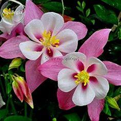 Solution Seeds Farm Rare Hierloom Pink Aquilegia Garden Columbine with white inside, 50 seeds, very beautiful light fragrant