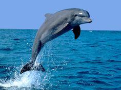 EL MUNDO ANIMAL: TODOS LOS TIPOS DE DELFINES Hay 37 especies de delfines divididos en 17 géneros, en este articulo los vamos a nombrar todos y poco a poco en el blog mas adelante los iremos detallando.  Esta considerado una de los animales mas inteligentes del planeta.  Utilizan las danzas, los sonidos y los saltos para comunicarse, alcanzar a sus presas y orientarse.Como la mayoría de cetáceos.  Los delfines van de los 2 hasta los 9 metros (los 9 metros son casos excepcionales)