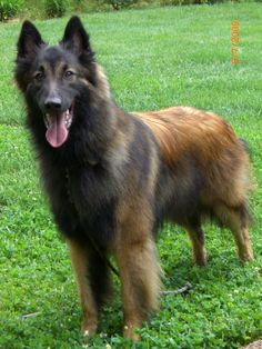 Intelligent, courageous and alert, the Belgian Tervuren is marked by its devotion to work and family. Belgian Shepherd, Shepherd Dog, German Shepherds, Pet Puppy, Dog Cat, Berger Malinois, Belgian Tervuren, Training Your Puppy, Training Dogs