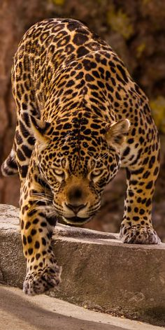Jungle Animals, Nature Animals, Cute Animals, Jaguar Pictures, Animal Pictures, Beautiful Cats, Animals Beautiful, Wild Animal Wallpaper, Jaguar Wallpaper