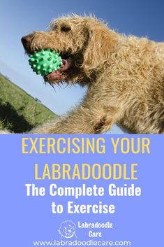 Labradoodles are an energetic and active breed. But can they be too active, especially when they are puppies? How much exercise do they need? F1b Labradoodle, Australian Labradoodle, Labradoodles, Puppy Biting, Labrador Retriever Dog, Bull Terrier Dog, Dog Agility, Workout Guide, Labrador Retriever