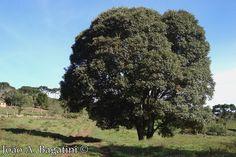 Luehea divaricata - Açoita-cavalo. Flora Digital do Rio Grande do Sul e de Santa Catarina: Luehea divaricata