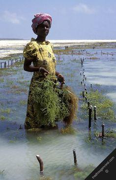 Seaweed harvesting, Tanzania, Zanzibar coast. Photo: Fred Hoogervorst.