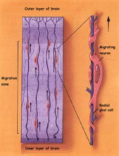 radial glial cells - Google Search