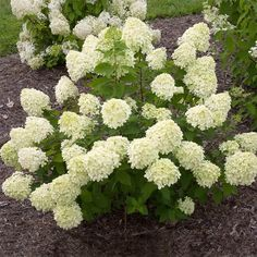Proven Winners - Little Lime® - Panicle Hydrangea - Hydrangea paniculata green pink green, turning pink in fall plant details, information and resources. Dwarf Hydrangea, Limelight Hydrangea, Hydrangea Care, Hydrangea Flower, Hydrangea Paniculata, Hydrangeas For Sale, Little Lime Hydrangea, Shrubs For Sale, Fast Growing Trees