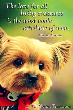 157 Best Yorkie Quote Images Yorkie Yorkie Puppy Yorkshire Terrier