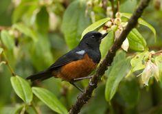 The World's Rarest Birds Endangered -- Commended  Chestnut-Bellied Flowerpiercer