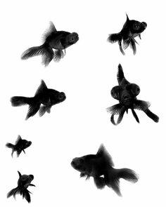 Black Moor Goldfish Collage Photograph