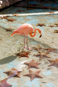 Flamingo at the aquarium near Seaquarium Beach, south of Willemstad, Curaçao