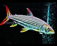 Hydrocynus Vittatus Tropical Aquarium, Tropical Fish, Aquarium Fish, African Tiger, Ancient Fish, Tiger Fish, Aquatic Ecosystem, Cute Fish, African Cichlids