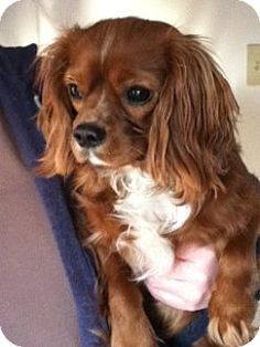 10/29/15 Minneapolis, MN - Cavalier King Charles Spaniel. Meet Harley Davidson-Foster Needed, a dog for adoption. http://www.adoptapet.com/pet/14192626-minneapolis-minnesota-cavalier-king-charles-spaniel