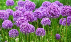 50 Allium Firework Bulbs Little Flowers, Green Flowers, Pretty Flowers, Colorful Flowers, Spring Flowers, Allium Flowers, Bulb Flowers, Planting Bulbs, Planting Flowers