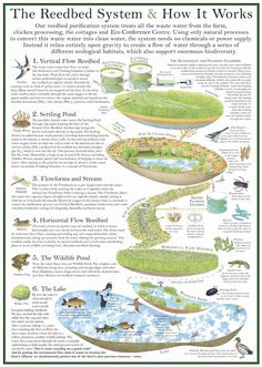 Reedbed System, a kind of natural aquaponics system...