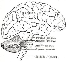 Gray's anatomy - Brain or Encephalon