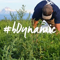 We look forward to a summer of lushness and greenery again this year!  Welcome spring, with promise of a perfect summer harvest...  #bdynamic #biodynamicfarming #organicherbs