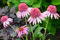 Echinacea 'Meteor Pink' - Exquisite double pink anemone-like flowers are held in an upright compact habit. Great branching produces multiple stems of bloom, which can be used for small bouquets. These are the perfect plants for the middle of the border and the strong stems mean no staking will be needed. Great vigor and bloom power.