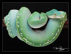 Green tree python -- Chondro