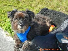 Oz the Terrier: Outdoor Gear: Kumfy Tailz Harness