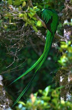Quetzal bird, Coban, Guatemala