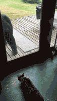 Cat Scaring A Bear