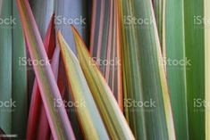 New Zealand Flax, Annual Plants, Medicinal Plants, Colour Images, Photo Illustration, Image Now, Royalty Free Images, Close Up, Albums