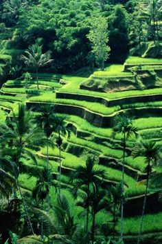 These rice fields are absolutely as stunning in person as in the picture. Bali, Indonesia ❤️