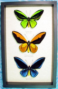 Real Ornithoptera Birdwing Butterfly Set 3 Green Orange Blue beautiful Archival Conservation Display