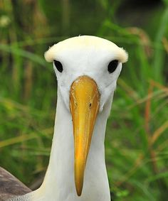 Española in the Galápagos is the sole breeding ground for the entire population of the world's Waved Albatrosses.