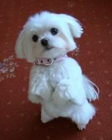 Puppy Cuts - Page 9 - Maltese Dogs Forum : Spoiled Maltese Forums