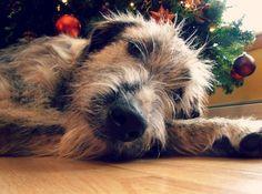 Irish Wolfhound at Christmas.