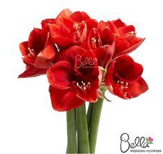 Red Amaryllis flowers are for excellent for Christmas centerpieces and focal points in bridal bouquets. FREE SHIPPING on all red amaryllis orders. class=