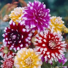 A fabulous assortment of white tipped Dahlias in brilliant colours.
