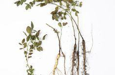 Nalewka na dobrą krew   Ziołowa Wyspa   Małgorzata Kaczmarczyk Tonik, Plants, Alcohol, Plant, Planets