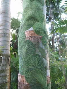 """A horticulturist friend of mine pinned this """"awesome shingle vine called a Rhaphidophora Cryptantha. It is a tropical vine that grows tight and flat to the tree or any convenient surface."""" I've never seen anything like this and think it is a really cool looking plant!"""