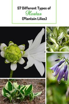 There are 57 Different Types Of Hostas where you can choose from to add into your gardens. #hostas #perennial #plant #garden #landscaping #greens