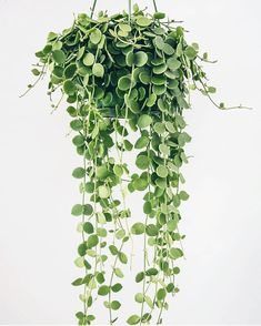 Silver Dollar succie – - All For Herbs And Plants Hanging Plants, Indoor Plants, Porch Plants, Planting Succulents, Planting Flowers, Succulents Drawing, Indoor Succulents, Plantas Indoor, Orquideas Cymbidium