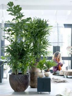Exklusive Palmen als Ruhepol – Pflanzenfreude.de