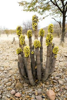 Desert - Yellow flowering cactus
