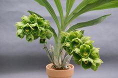 Catasetum expansum Exotic Flowers, Green Flowers, Orchid Flowers, All Plants, Green Plants, Orchid Varieties, Green Orchid, Orchid Show, Rare Orchids