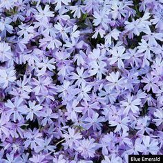 Blue Emerald Creeping Phlox: Ground Covers from Gurney's Winter Plants, Winter Garden, Landscaping With Rocks, Backyard Landscaping, Landscaping Ideas, Backyard Patio, Arizona Landscaping, Creeping Phlox, Container Gardening