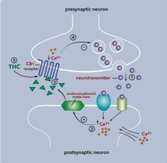 The Endocannabinoid System Explained