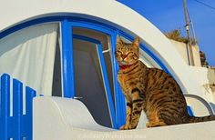 Domus Philosophy | Cat #Santorini #Greece