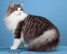 Norwegian Forest Cat Cat Facts Text, Dog Facts, Cat Meow Meaning, Fancy Cats, Siberian Cat, Norwegian Forest Cat, Maine Coon Cats, Cat Quotes, Cat Breeds