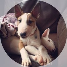These cute bull terrier puppies